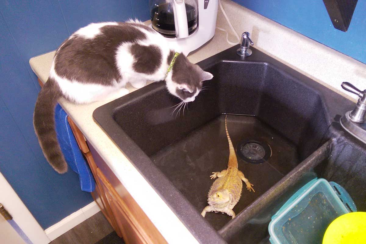 can looking at horned lizard in kitchen sink